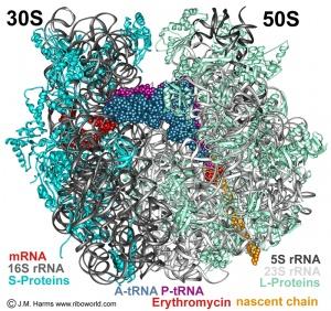 Bakterielles 70S Ribosom